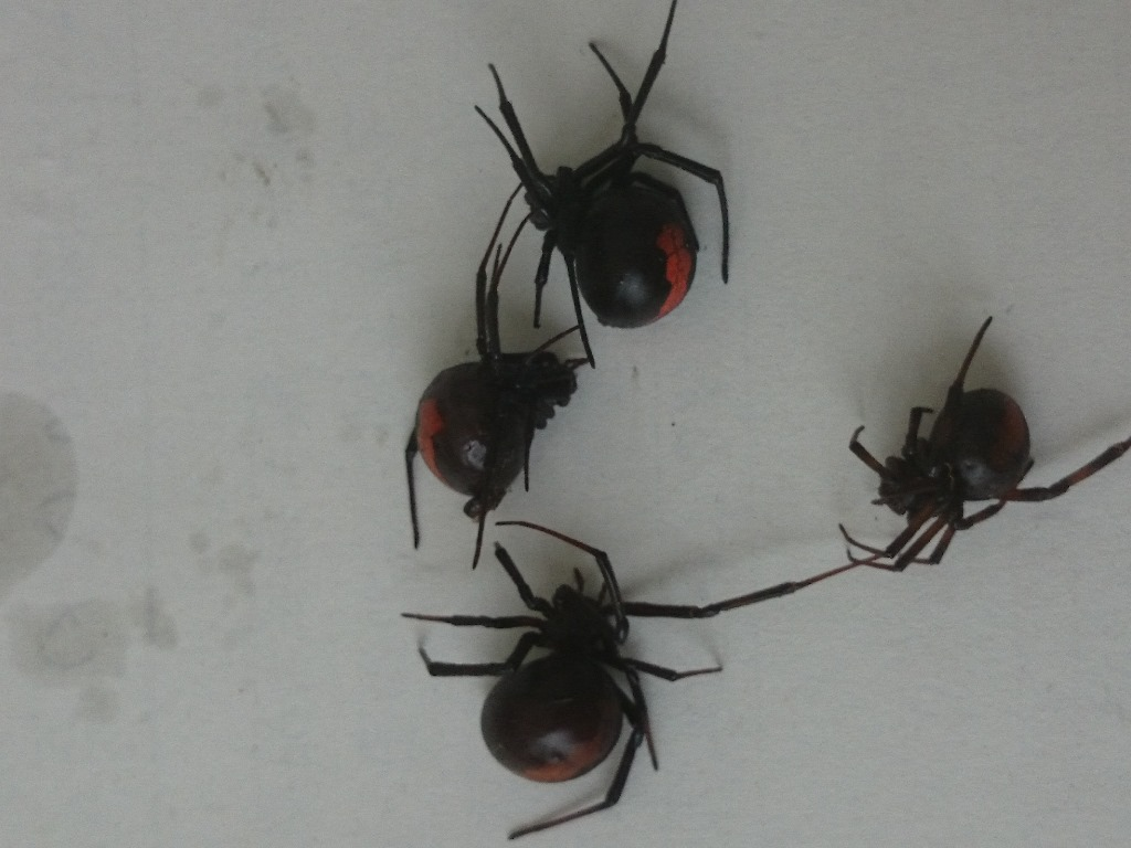 Redback spider 280630